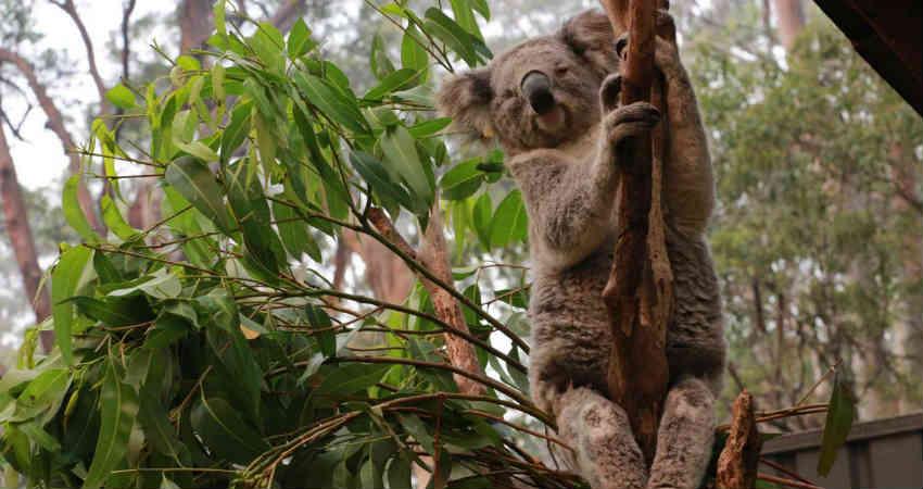 Koalas and Australian Bushfire