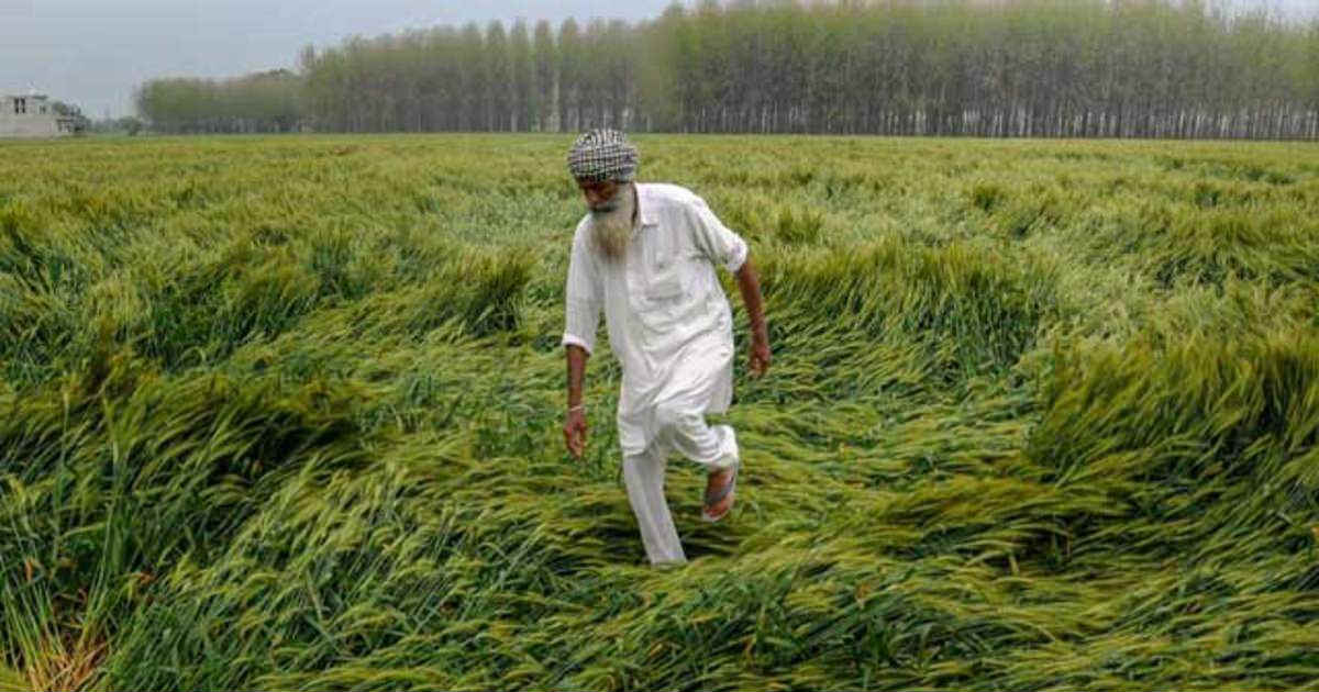 Crop Damage Due To HEavy Rains In North West India