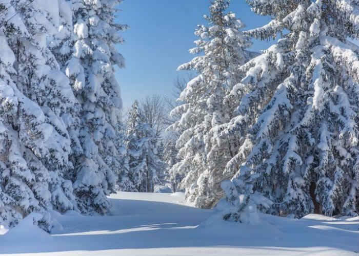 Snow-Clad Pine Trees