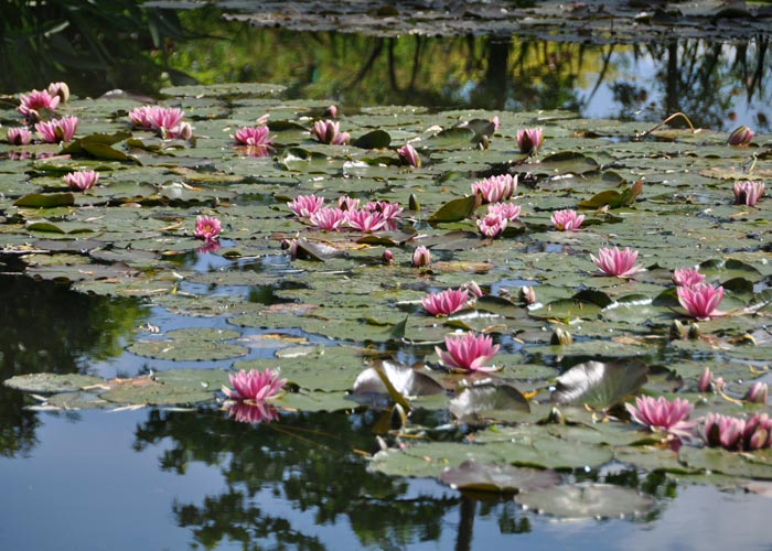 Waterlilies in Giverny (France)