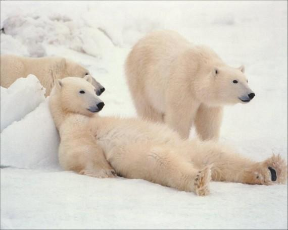 Hurting Polar Bears