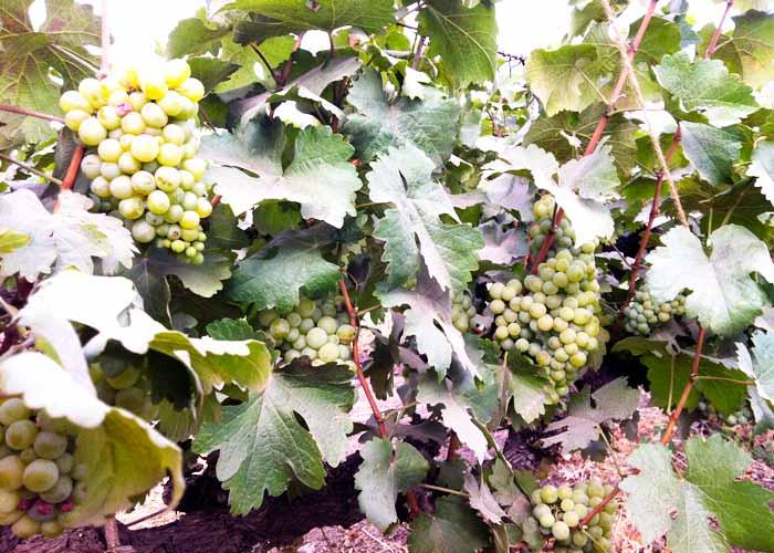 Pause Wines